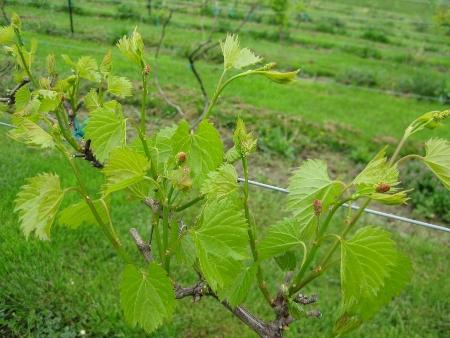 20090507-grapes1