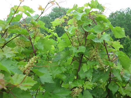 20090610-grapes